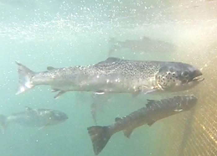 Salmon harming harms wild salmon